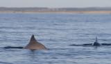 Harbour porpoise - Tumlare (Phocoena phocoena)