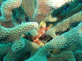 Crab in Antler Coral