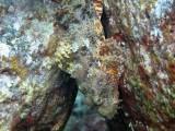 Titan Scorpionfish - Honokohau Harbor