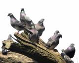 Park Pidgeons