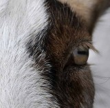 In a Goat's Eye