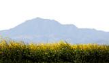 Mt. Diablo and Mustard Field