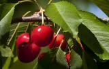 Lady Cherry