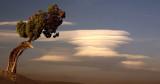 Juniper Pine & Lenticular Clouds