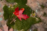 Maple leaf on mossy rock