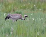 Tranor till vadare / Cranes to Shorebirds