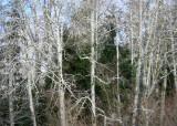more winter alders