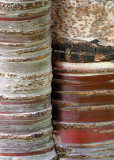 50 birch bark cherry 3