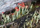 Lichen Flowers
