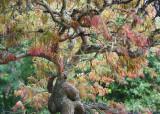 64 Springtime Maple