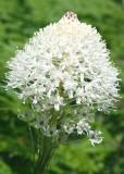 03 beargrass