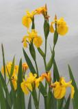 03 yellow flag irises