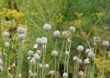 114 poppy seed heads