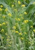 107 mustard blossom?