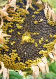 105 sunflower seeding