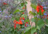 72 scarlet runners and borage