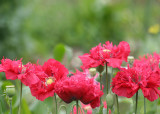 65 red poppies