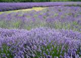 26 lavender fields, sequim