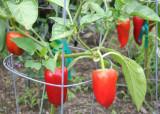 46 red pepper