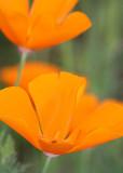 31 california poppies