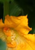 26 squash blossom