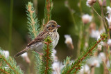 Juvenile Savannah Sparrow