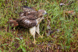 Red-tailed Hawk and Brown Snake