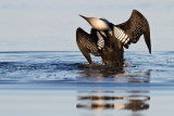 Pacific Loon (uncropped version)