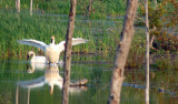 2011 Trumpeter Swans return to raise 4 cygnets (hatched 5).
