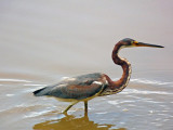 Tricolored Heron still fishing
