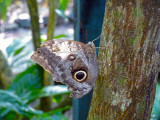 Common Owl Butterfly at the Butterfly Garden