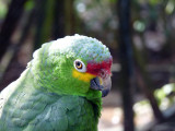 Red Lored Parrot / Red Lored Amazon Parrot - Butterfly Garden