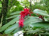 Ginger (Carambola Botanical Gardens)