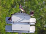 The Purple Martins Take Over The Condo June 2011