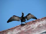 card cormorant.jpg