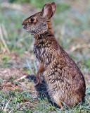 Marsh Rabbit on Hind Legs.jpg