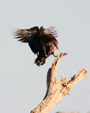 Whistling Duck Coming in for a Landing.jpg