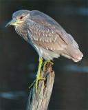 Juvenile Black Crown Night Heron on a Pole.jpg