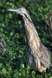 American Bitttern with Neck Stretched.jpg