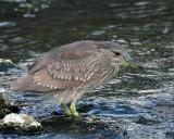 Juvenile Black Crown Night Heron Hunting in the Pond.jpg