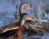 Whistling Ducks.jpg