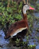 Whistling Duck.jpg