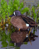 Blue Wing Teal at Rest.jpg