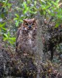 Great Horned Owl in the Moss.jpg