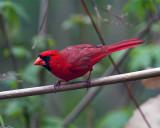 Cardinal Looking Left.jpg