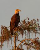Bald Eagle on Alligator Alley.jpg