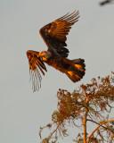 Bald Eagle Takeoff.jpg