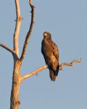Juvenile Bald Eagle on Alligator Alley.jpg