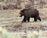 Tagged Grizzly Boar in Lamar Canyon.jpg