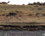 Lamar Canyon Pack Wolves by the River.jpg